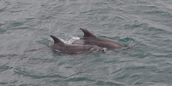 Dolphins (Bay Of Islands)